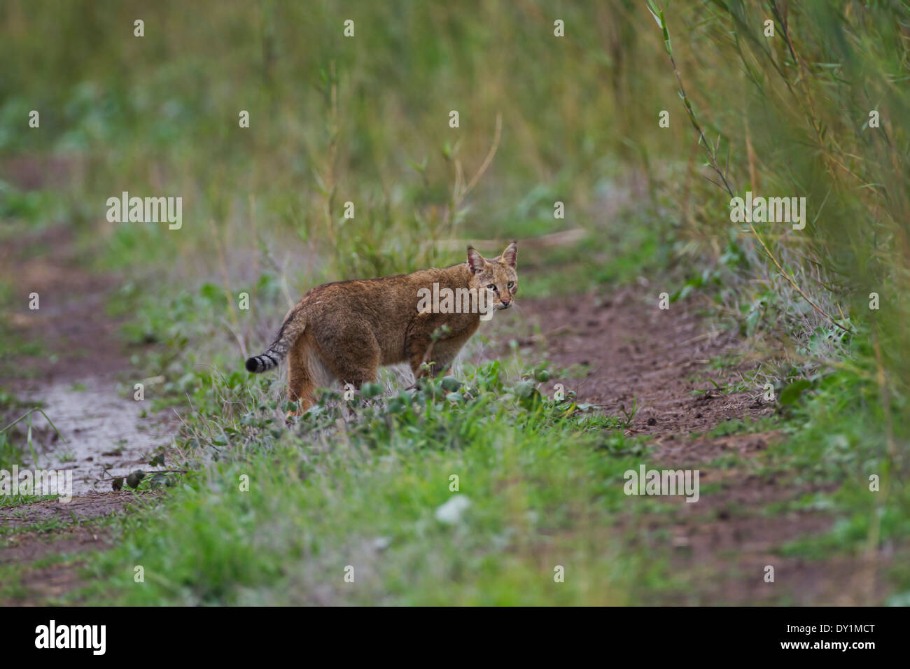Jungle Cat (Felis chaus) in the wild. Sometimes called Reed Cat or Swamp Lynx. Photographed in Israel in the wild - Stock Image