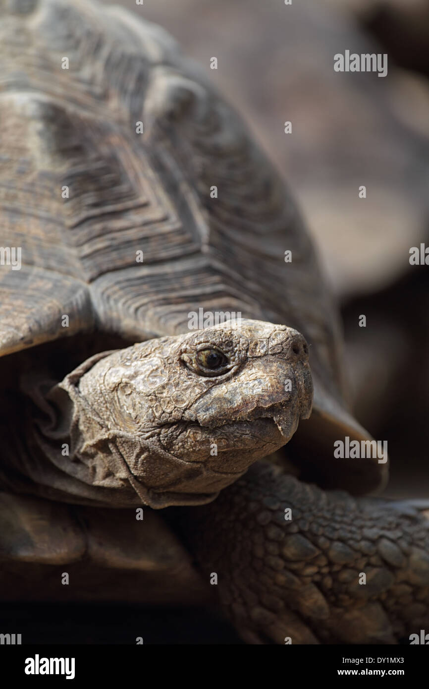 Portrait of a Leopard tortoise (Stigmochelys pardalis) in South Africa. - Stock Image