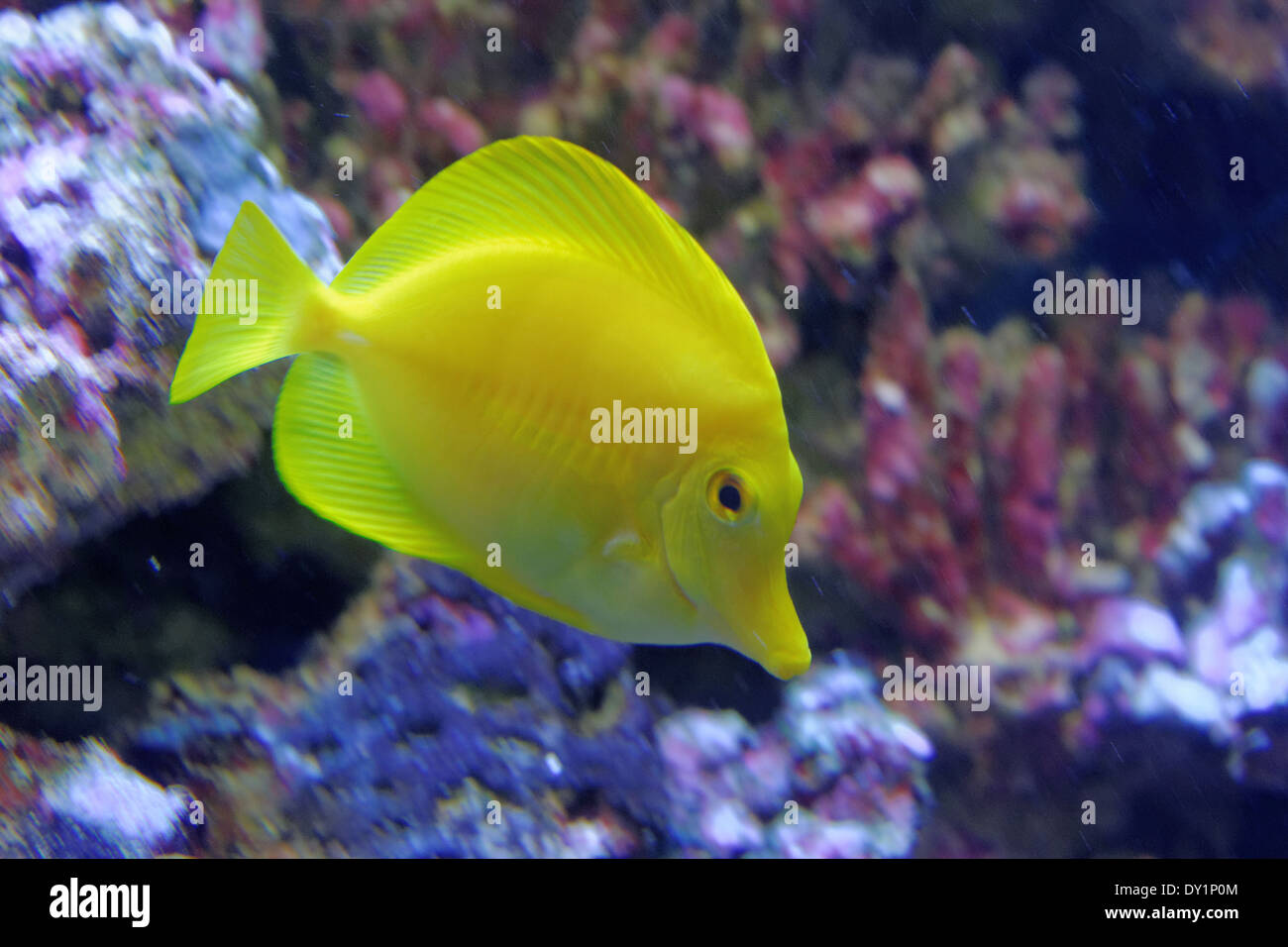 yellow tang zebrasoma flavescens is a saltwater fish species of