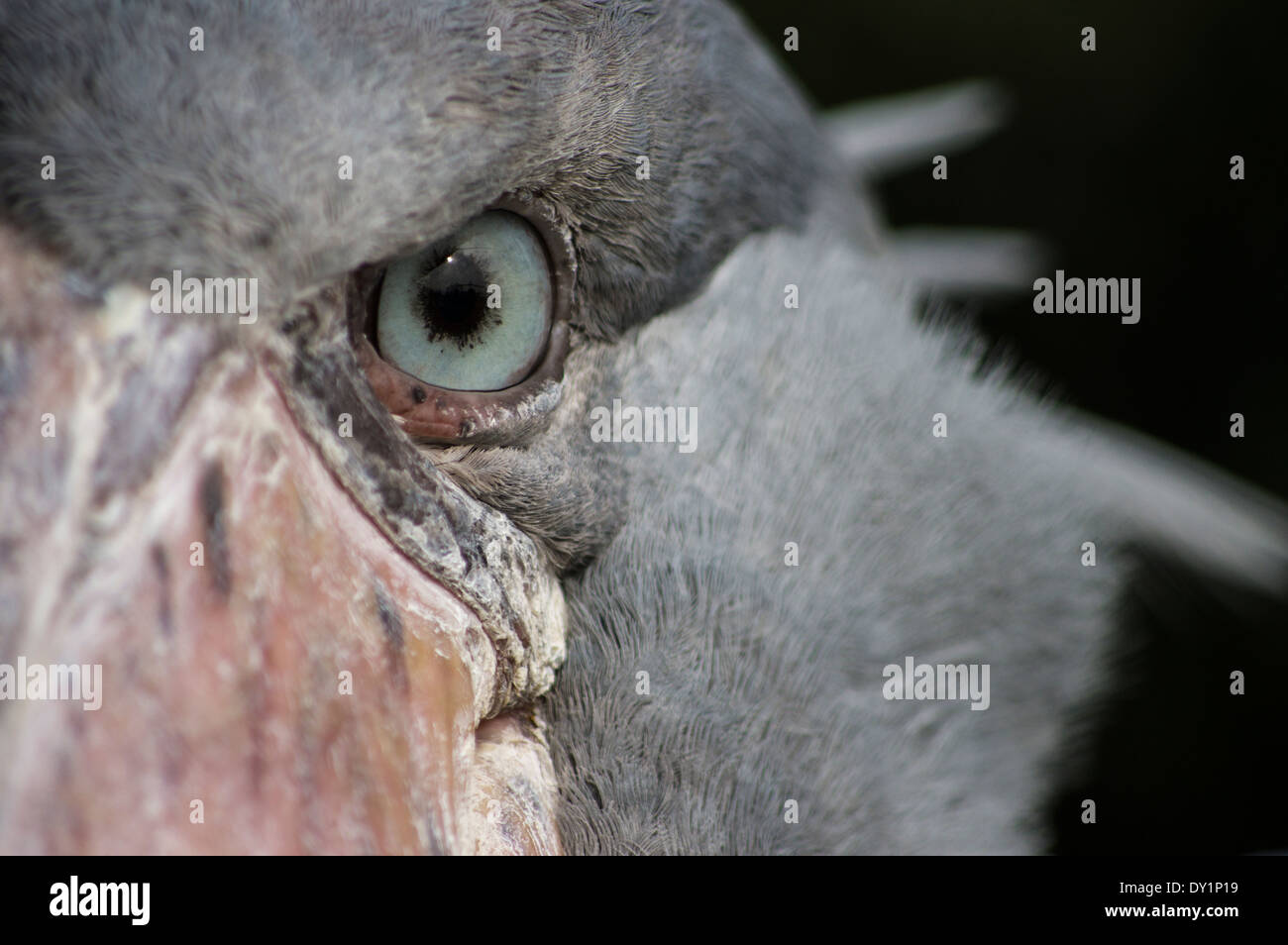 Shoebill, Balaeniceps rex African bird at Ueno Zoo, Tokyo, Japan - Stock Image