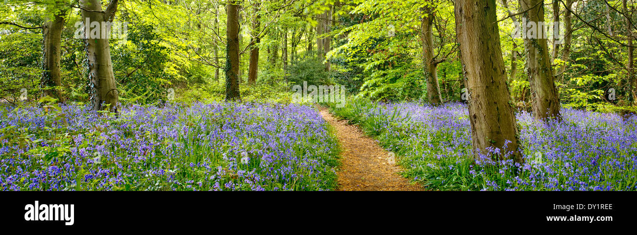 Bluebell wood Isle of Wight - Stock Image
