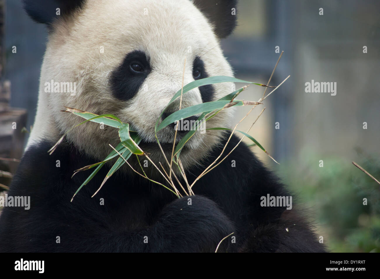 Panda Bear  eating bamboo at Ueno Zoo, Tokyo, Japan - Stock Image