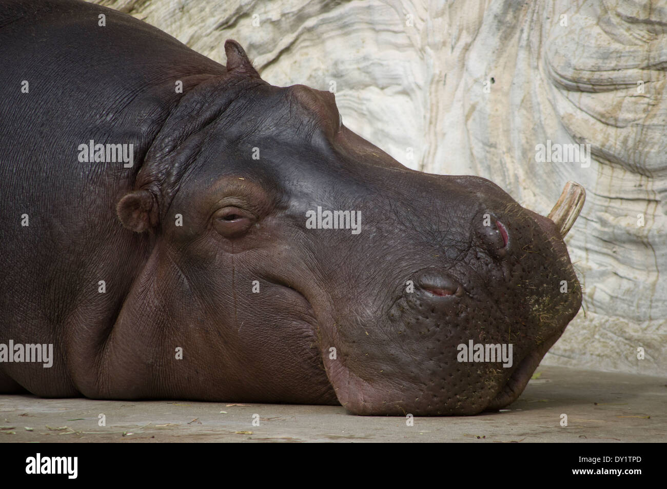 Hippo crying with tears at Ueno Zoo, Tokyo, Japan - Stock Image