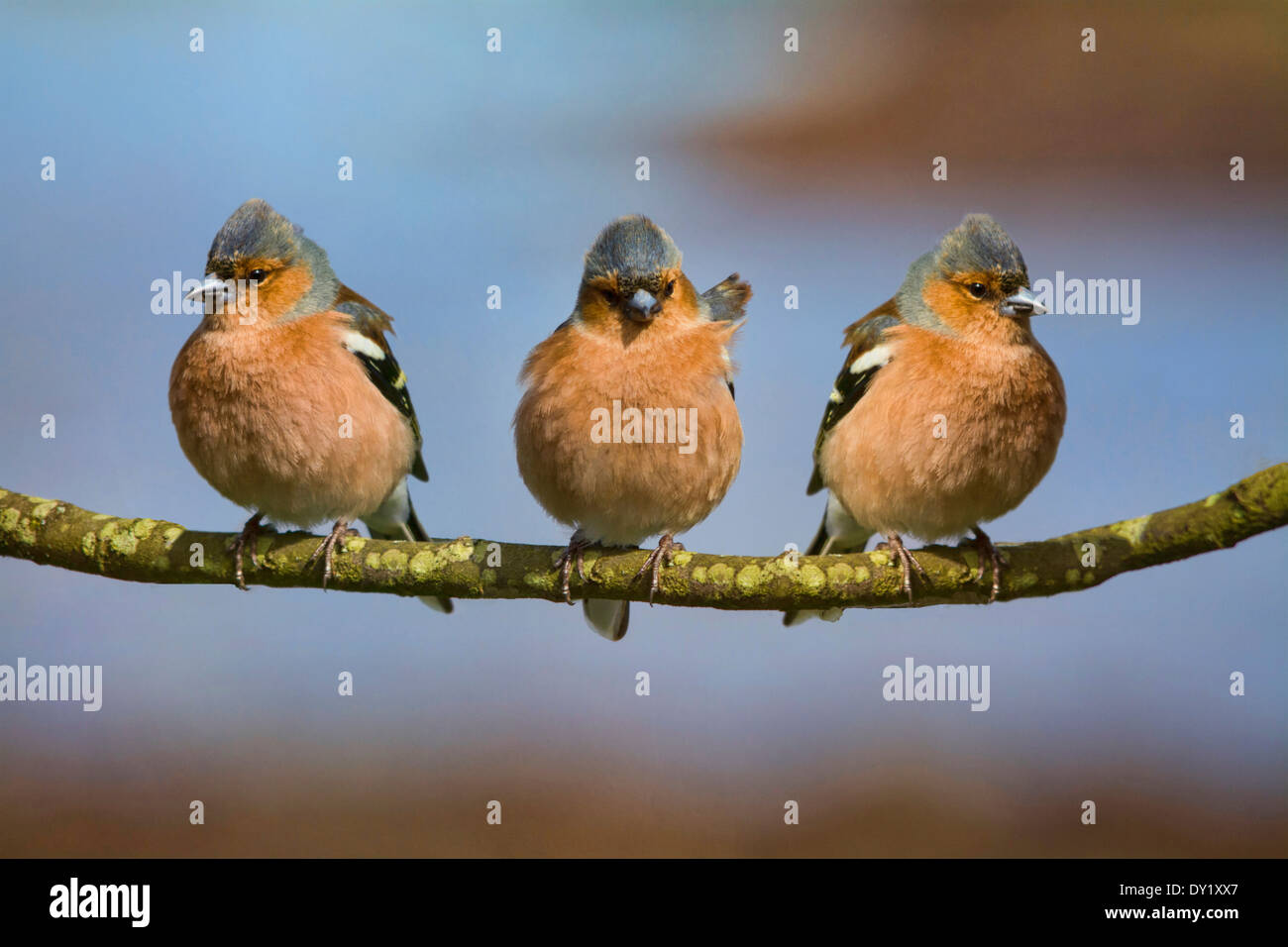 Three Chaffinches - Stock Image