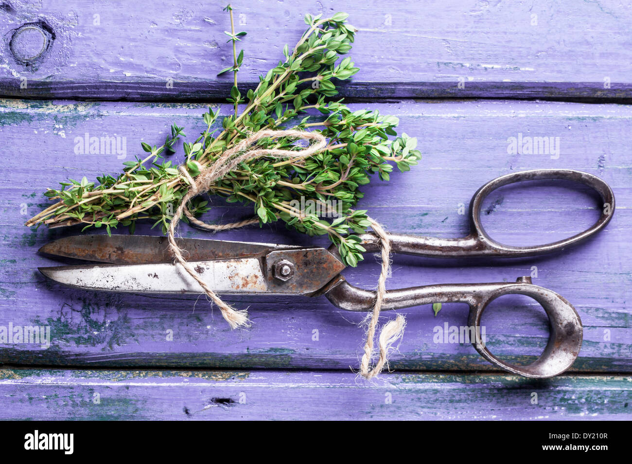 Top view on bunch of fresh thyme and vintage scissors on violet wooden table Stock Photo
