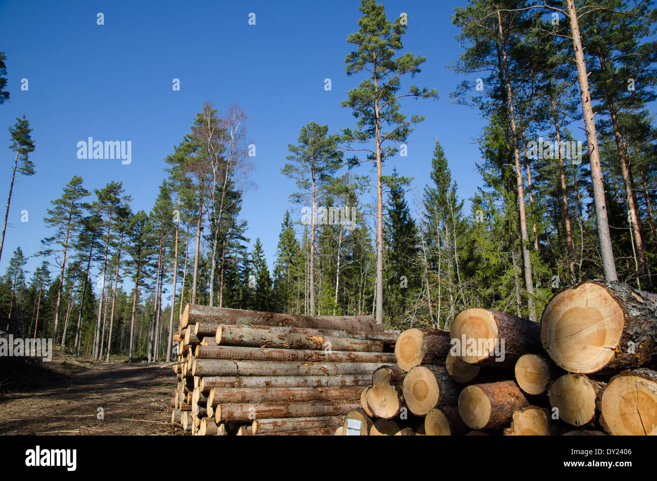 Softwood piles at road side in a coniferous forest - Stock Image