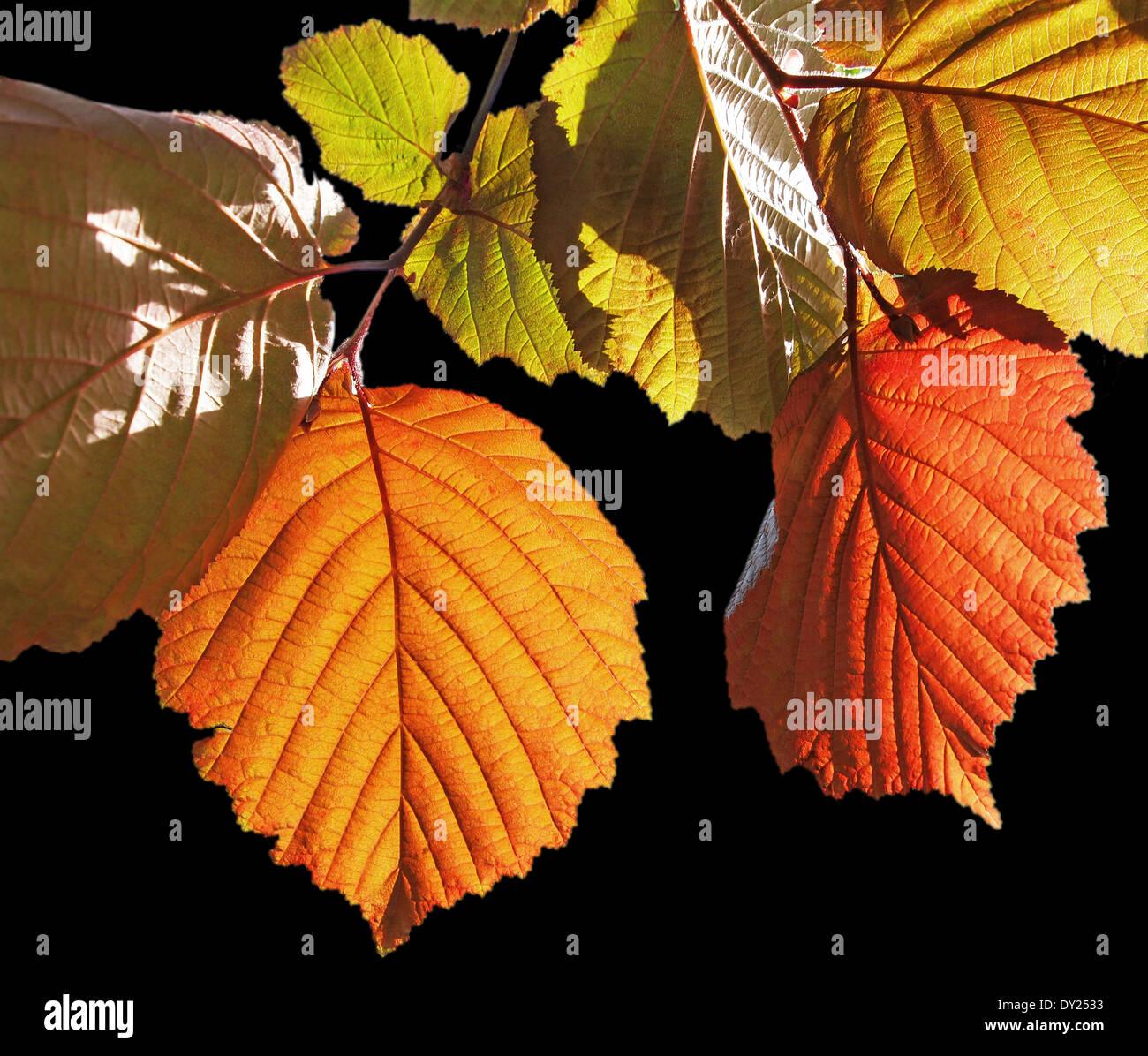 bunte Blätter an einer Buche - Stock Image