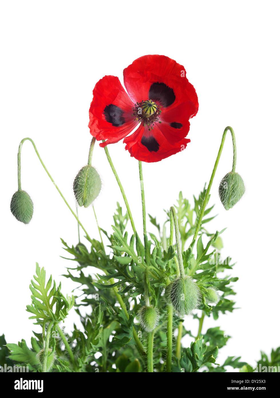 White poppy leaves isolated on stock photos white poppy leaves red poppy with leaves isolated on white backgroundallow dof stock image mightylinksfo