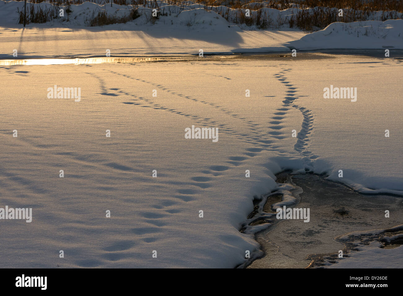 Animal tracks from open water crossing a snow covered wetland. - Stock Image