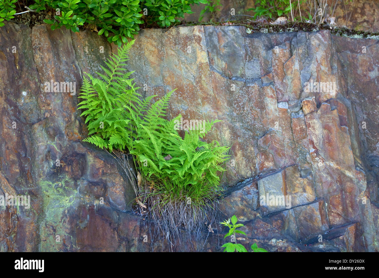 Ferns grow from crack in rock - Stock Image