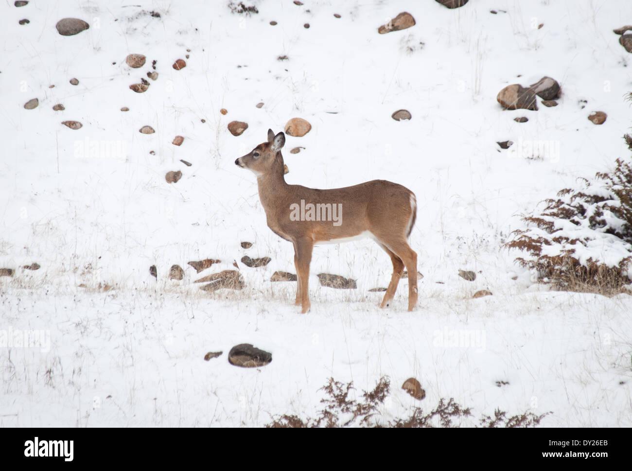 A female Mule deer (Odocoileus hemionus) in winter in Jasper National Park, Alberta, Canada. Stock Photo