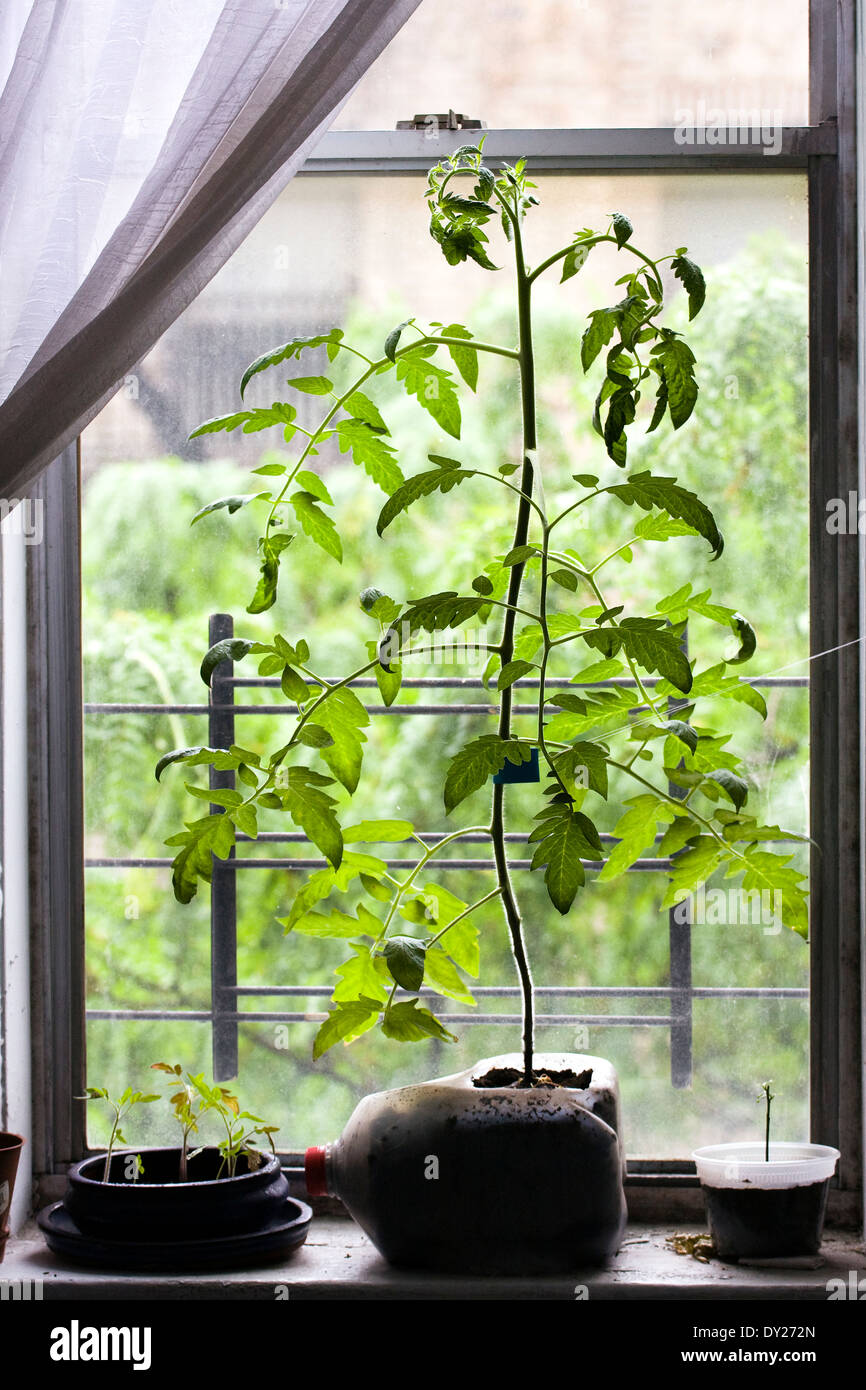 Tomato Plant sprouting from a 1 Gallon container on a windowsill in an apartment in New York City Stock Photo