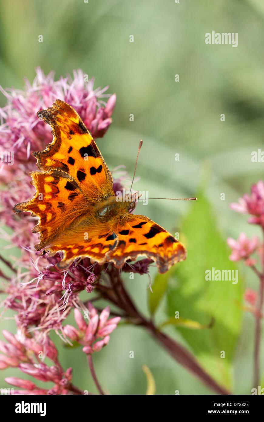 Polygonia c-album, Comma Butterfly on Eupatorium maculatum Atropurpureum Group flower. September. Stock Photo