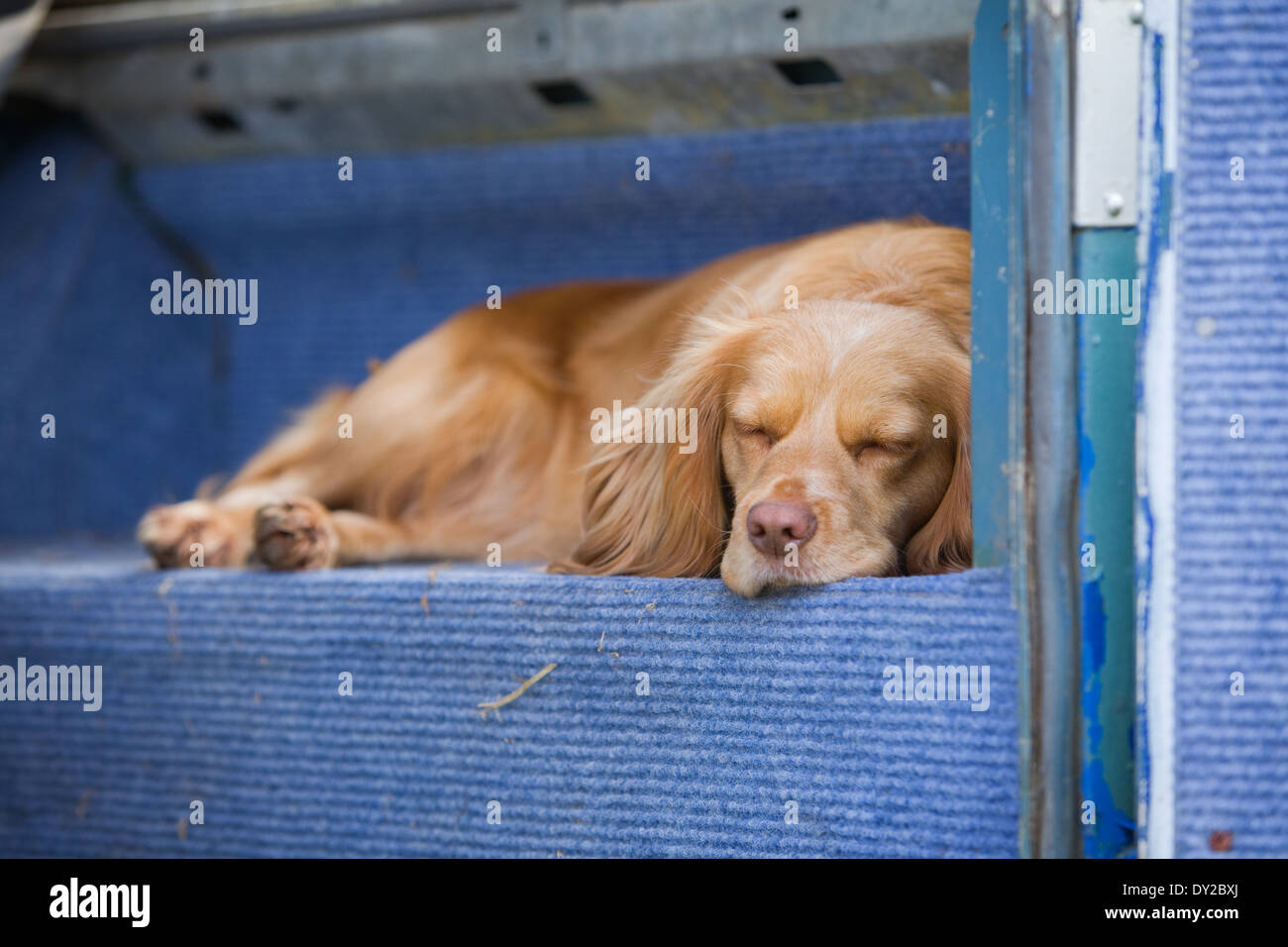 A golden cocker spaniel working dog sleeping in the back of an old Land Rover vehicle - Stock Image