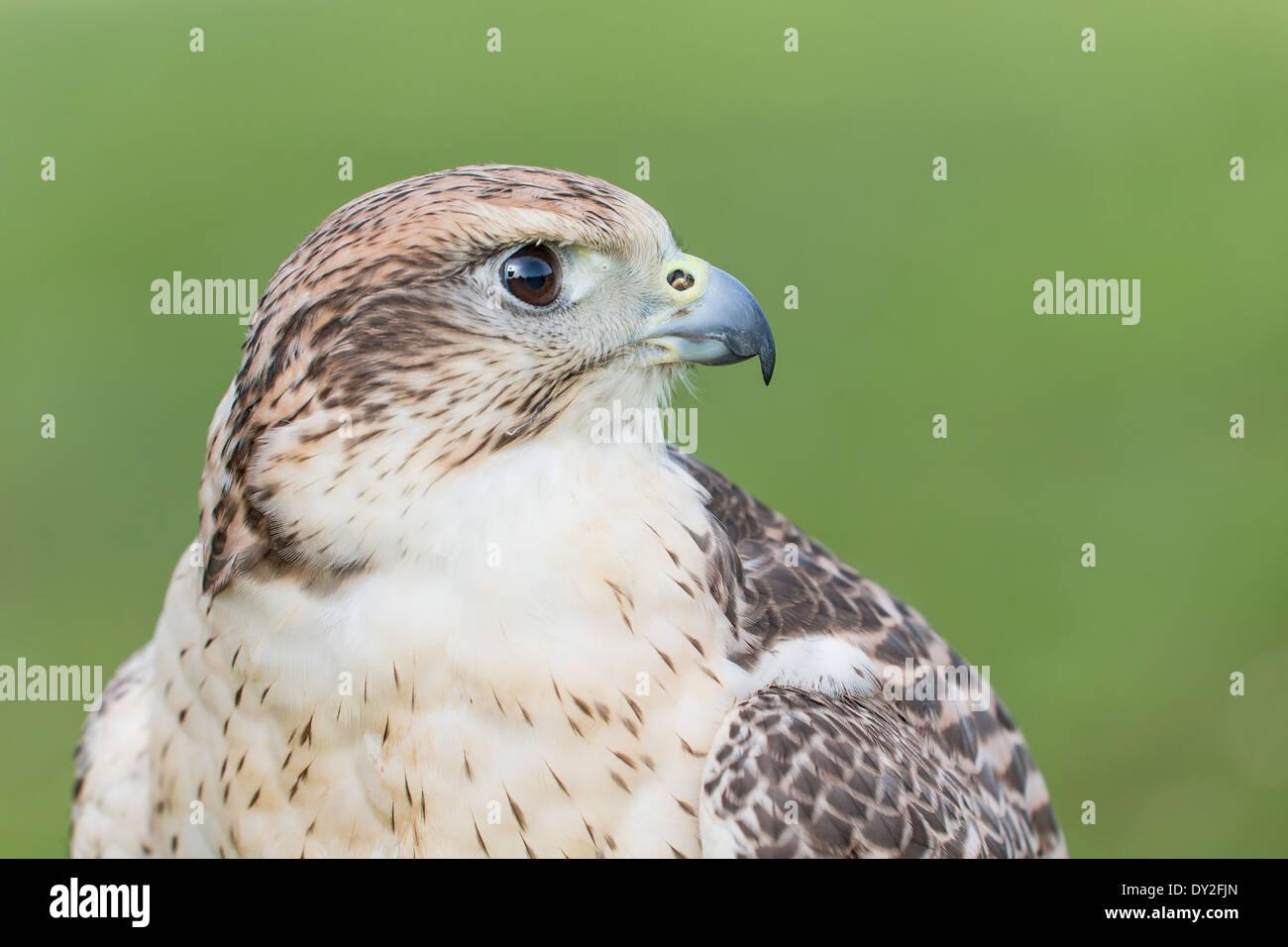 Portrait of a Saker Falcon (Falco cherrug) - Stock Image