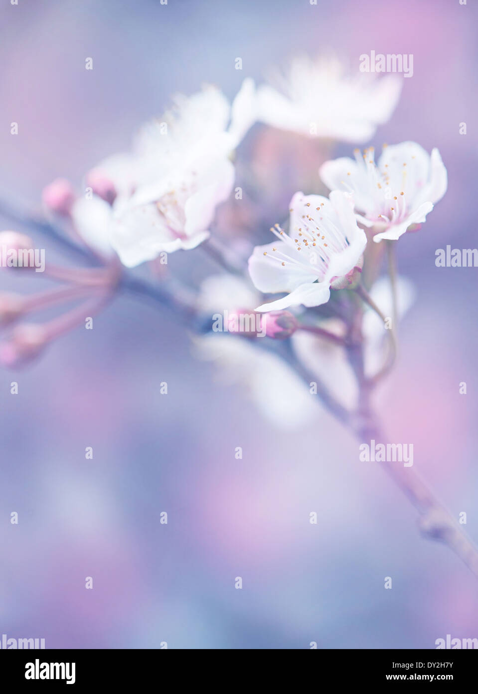 Blooming Of Japanese Sakura Garden Abstract Floral Background Dreamy Natural Wallpaper Shallow Depth Field