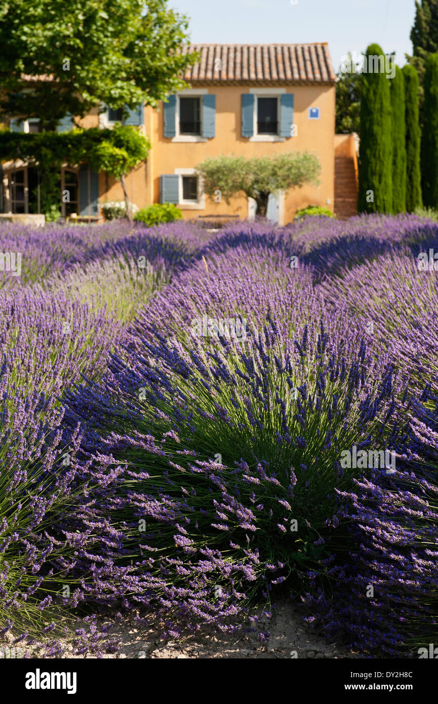Abundant field of lavender with a provencal farmhouse in the background - Stock Image