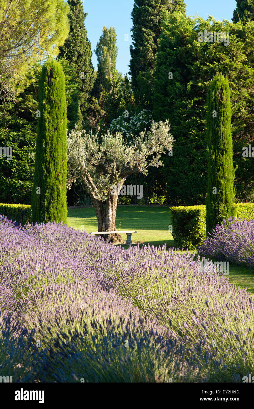 Provencal garden with lavender and cypress trees - Stock Image