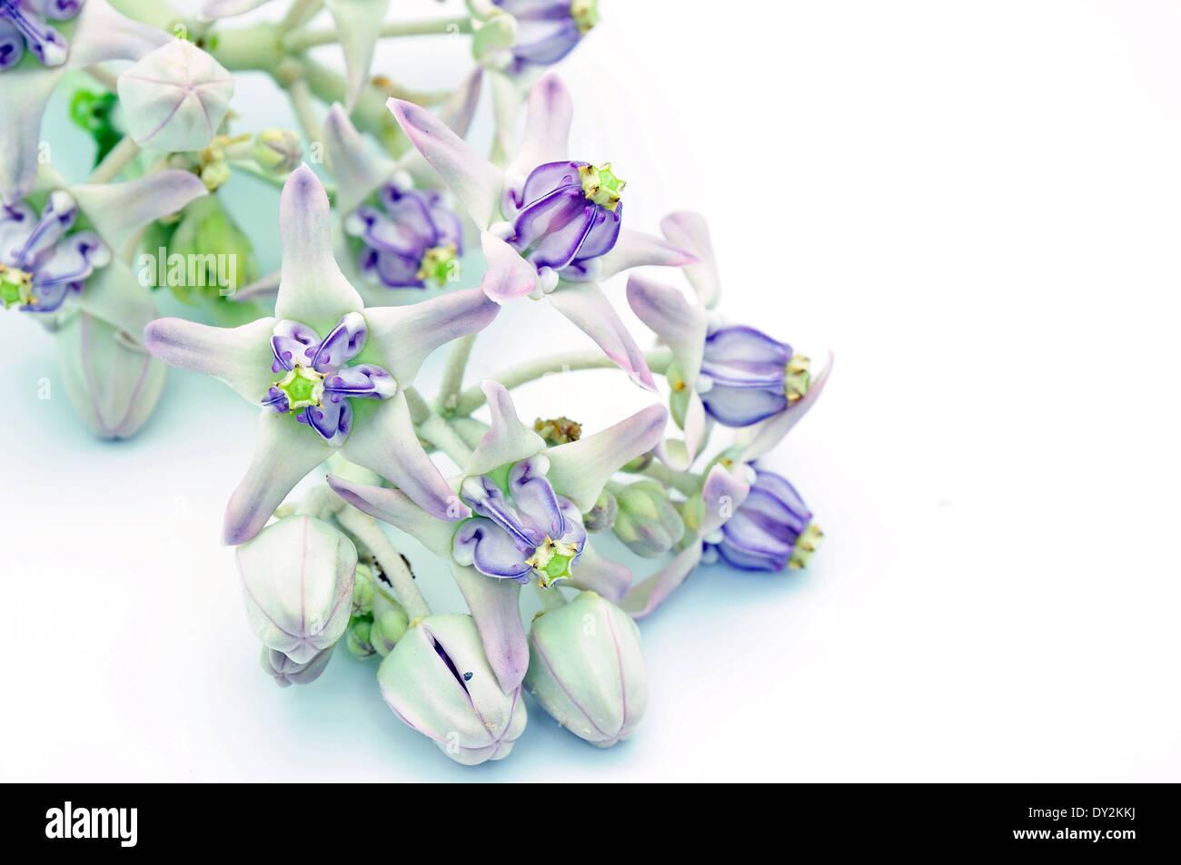Purple Flower Crown Stock Photos Purple Flower Crown Stock Images