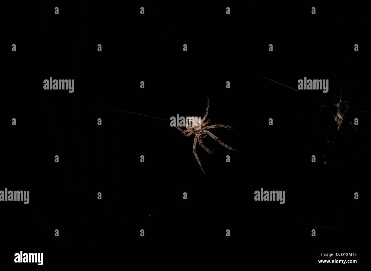 Orb Weaver Spider at Night in his Cobweb - Stock Image