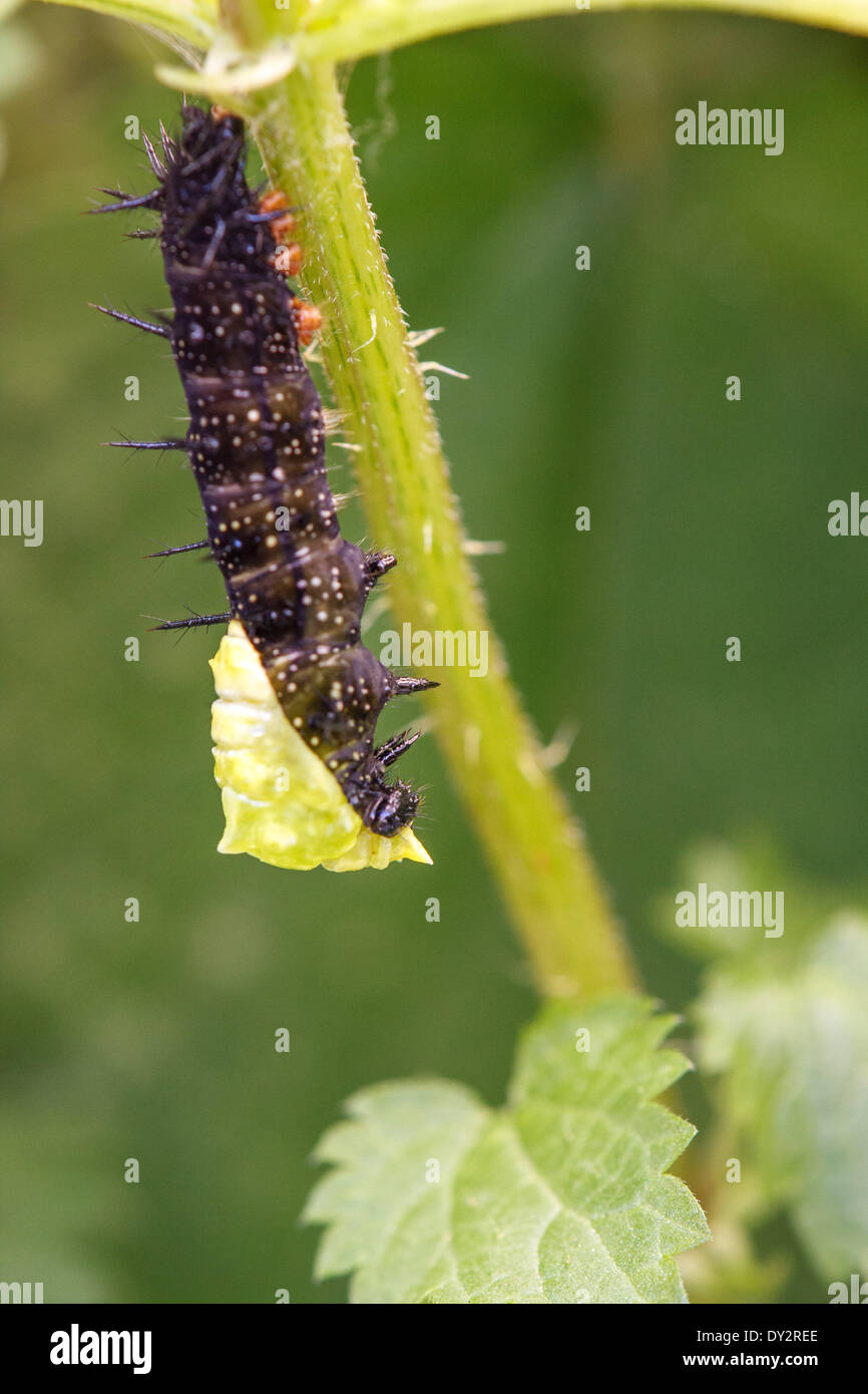 On a blade of grass nettle caterpillar of a peacock butterfly hangs (Inachis io; Syn: nymphalis io). She has hung upside down as the pupate process begins. - Stock Image