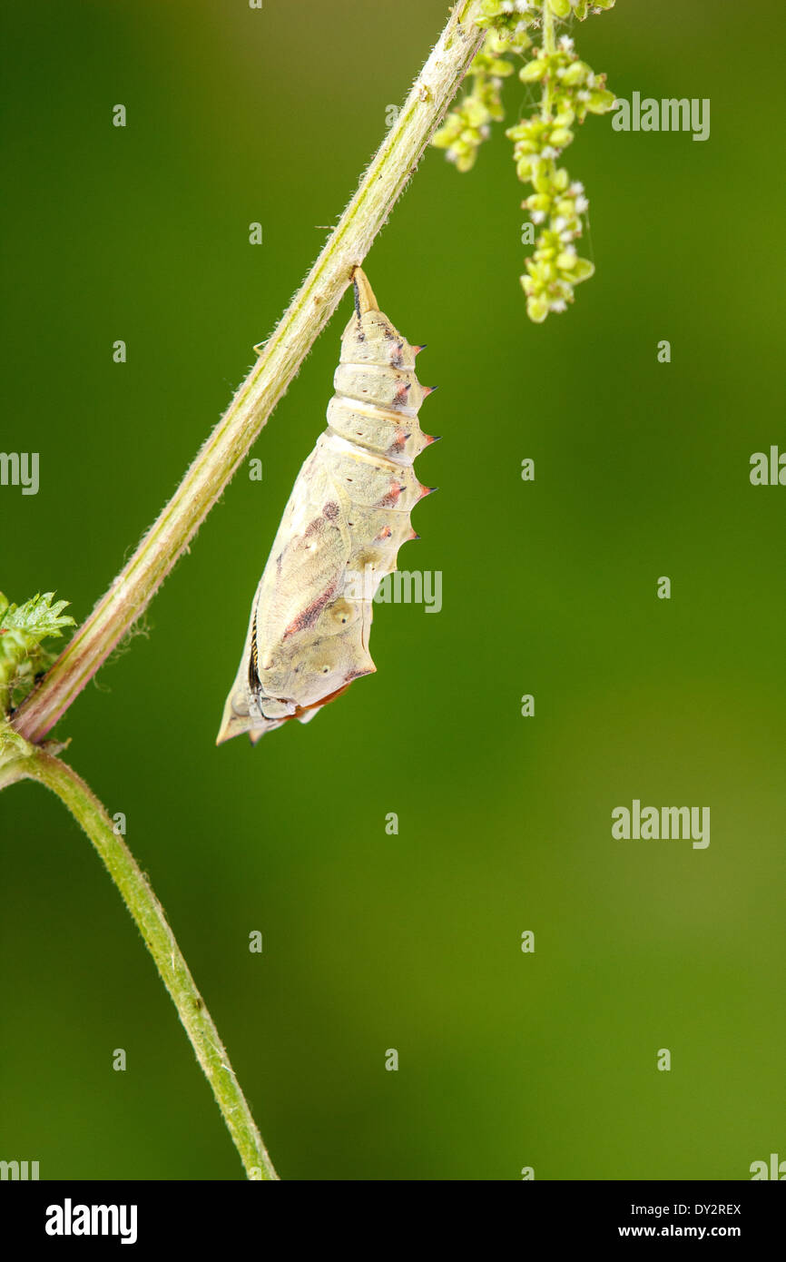 From a caterpillar pupated slips a butterfly. - Stock Image