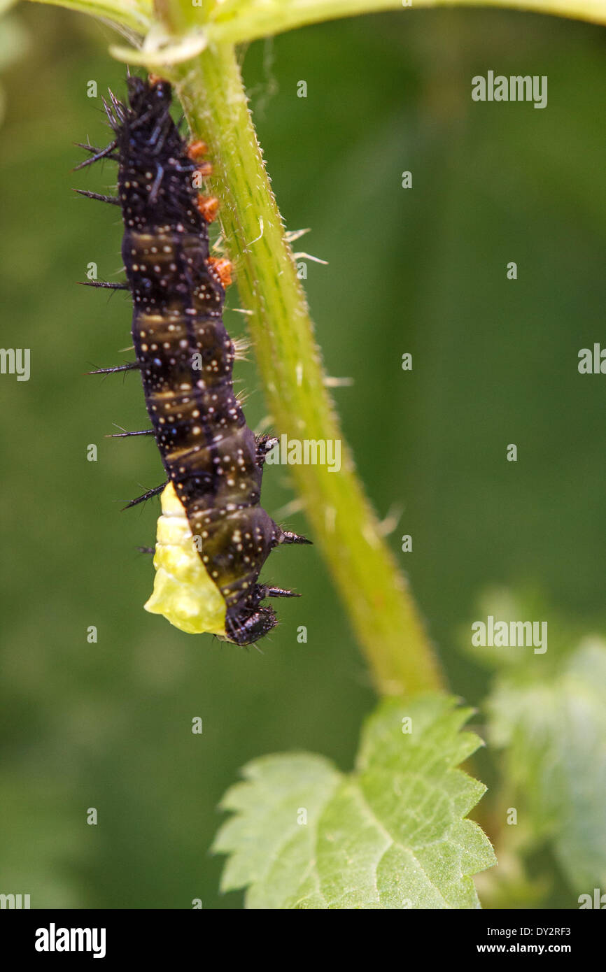 On a blade of grass nettle caterpillar of a peacock butterfly hangs (Inachis io; Syn: nymphalis io). She has hung upside down as the Verpuppungsprozess begins. - Stock Image