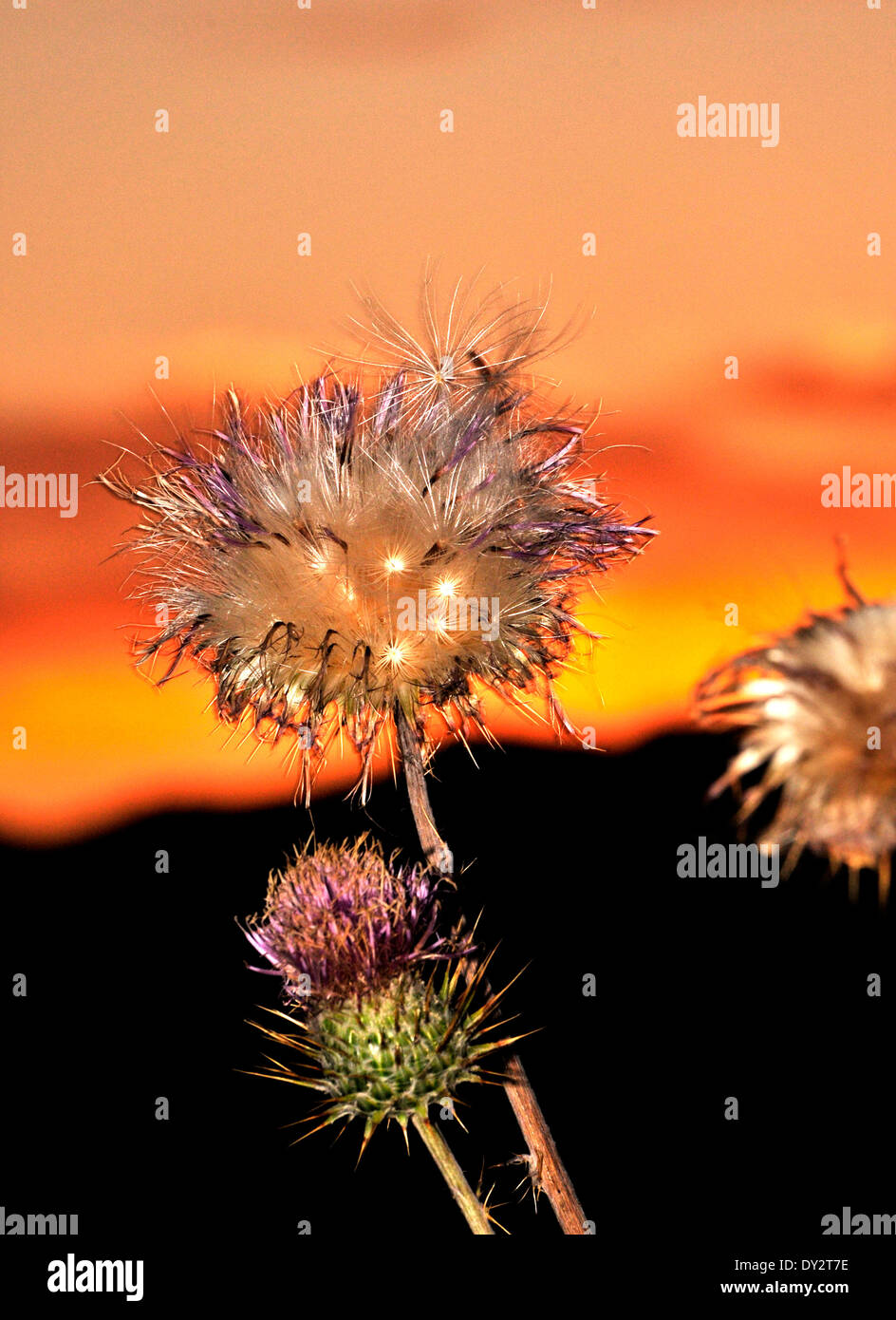 New Mexico Thistles, Cirsium neomexicanum, grow in the Santa Catalina Mountains, Sonoran Desert, Tucson, Arizona, Stock Photo