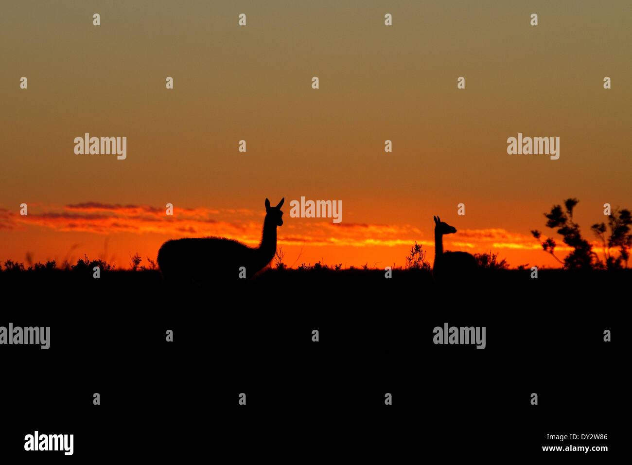 Guanaco Patagonia at sunrise among the landscape of Peninsula Valdes, Valdez, Patagonia, Argentina. - Stock Image