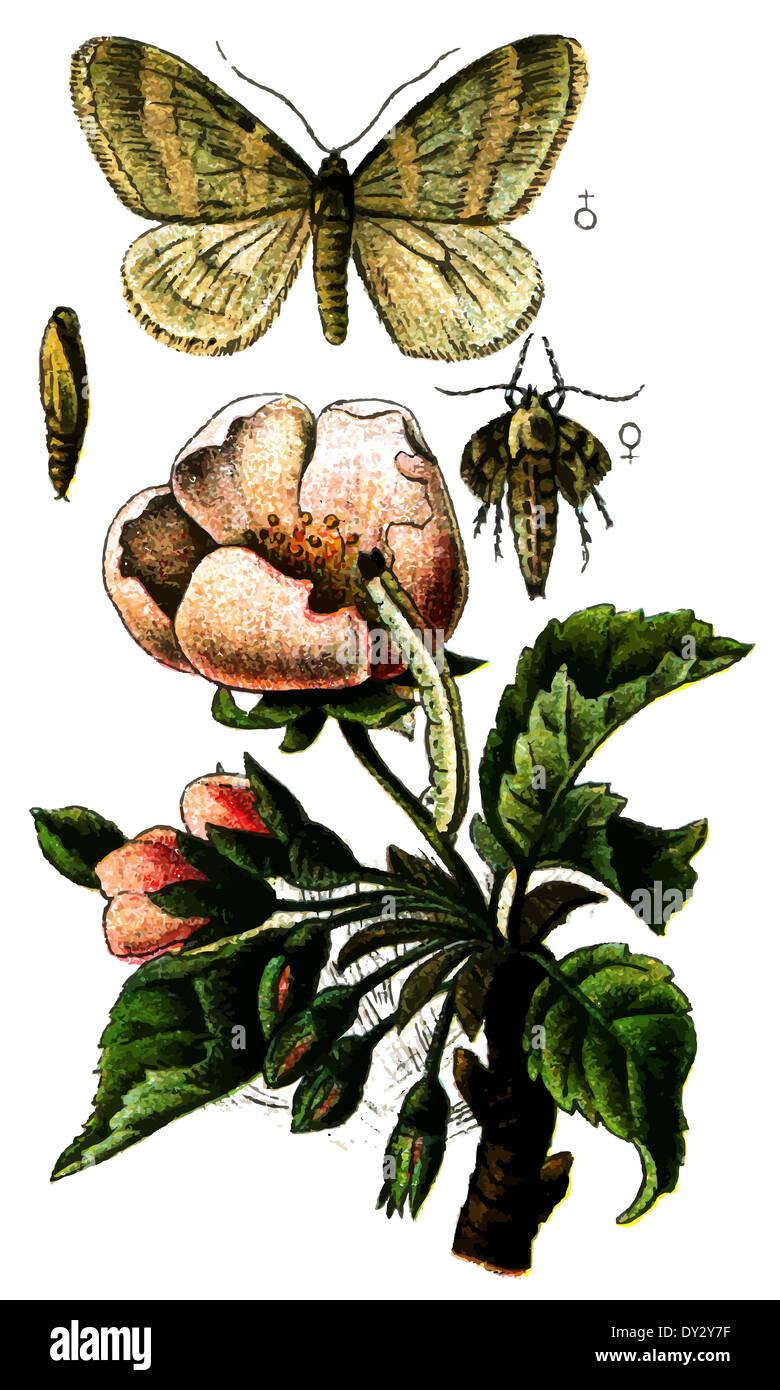 Insect Winter Moth (Operophtera brumata). - Stock Image