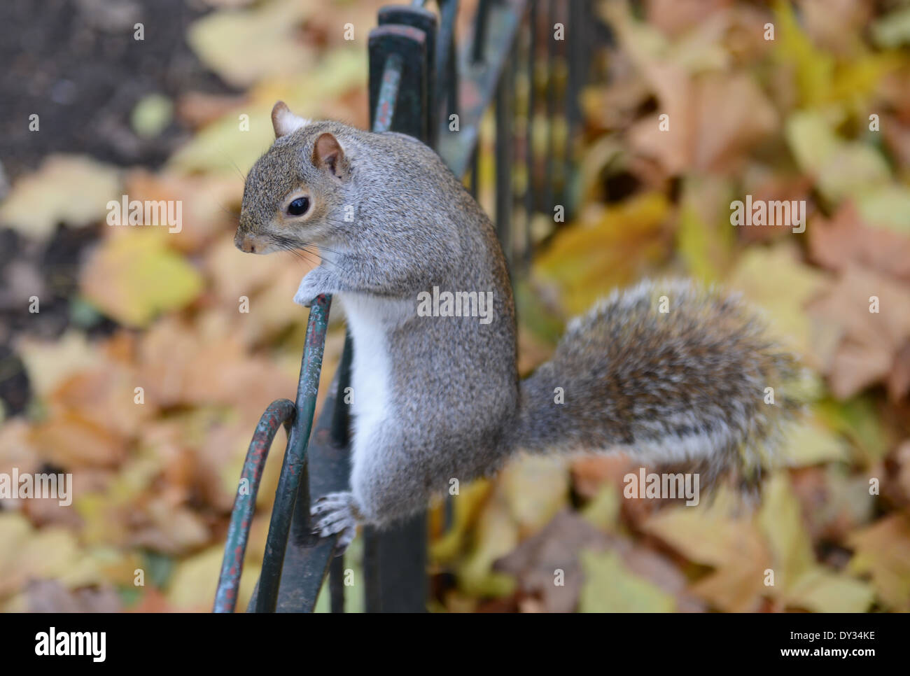Grey Squirrel on fence, St. James Park, London, UK - Stock Image