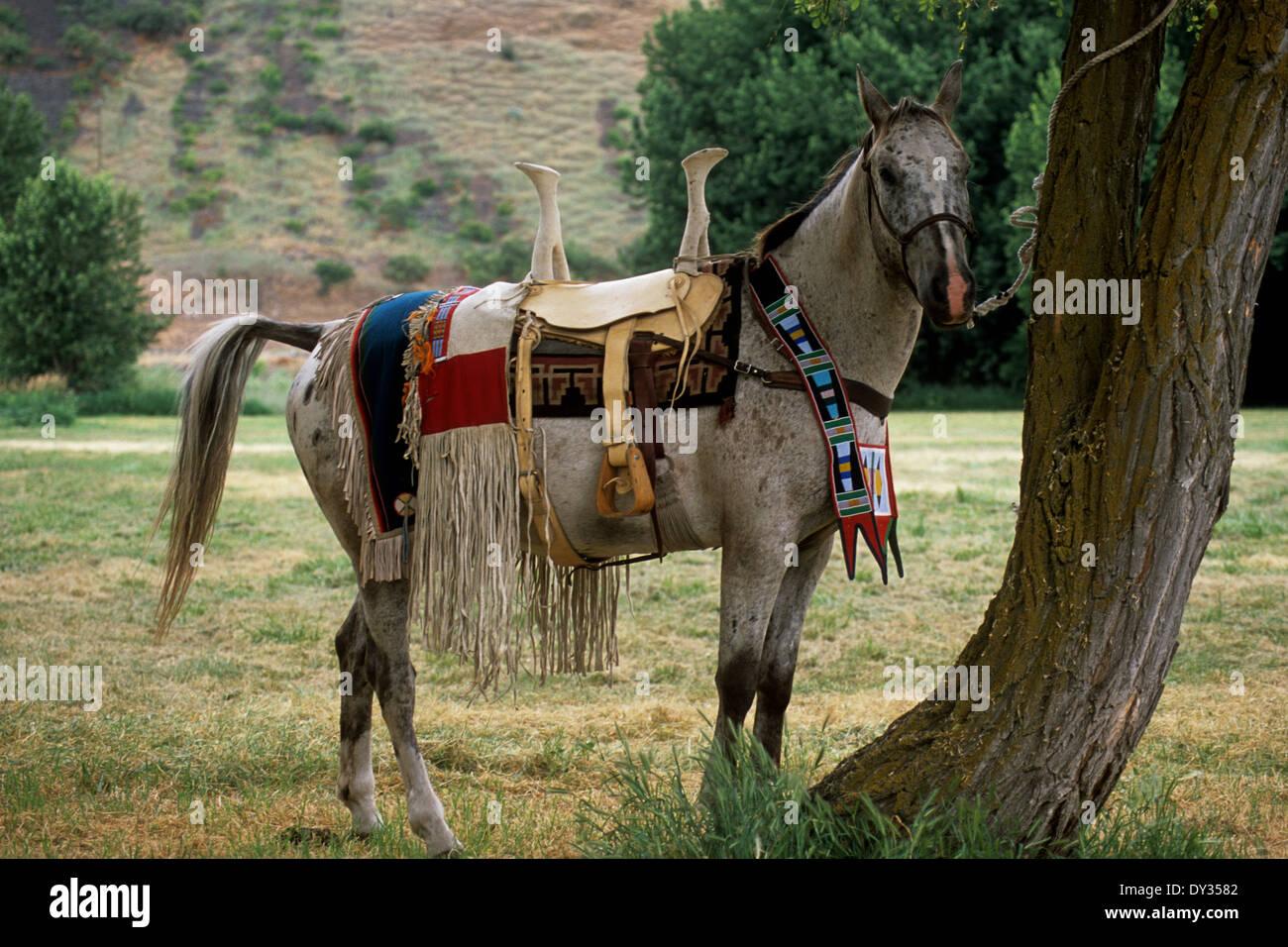 Appaloosa horse in full Nez Perce Indian regalia wearing woman's riding saddle - Stock Image