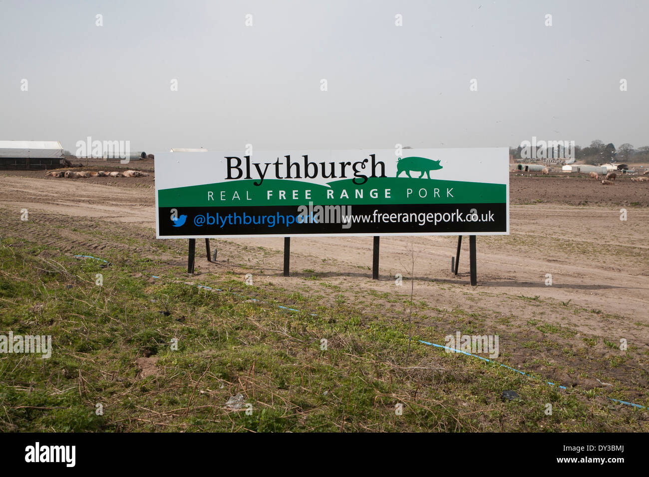 Sign in field of pigs advertising Real Free Range Pork, Blythburgh, Suffolk, England - Stock Image