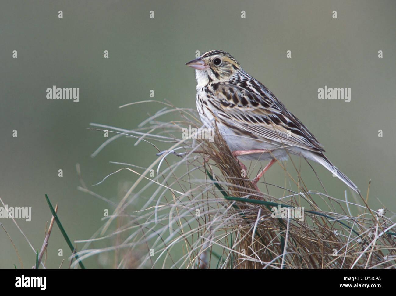 Baird's Sparrow - Ammodramus bairdii - Stock Image