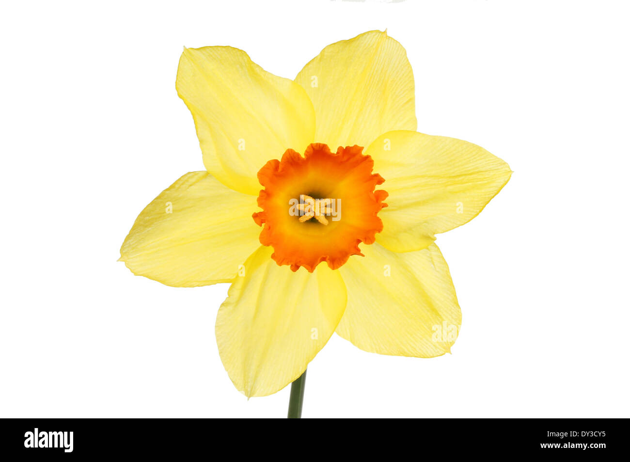 Yellow Daffodil Flower With An Orange Center Isolated Against White