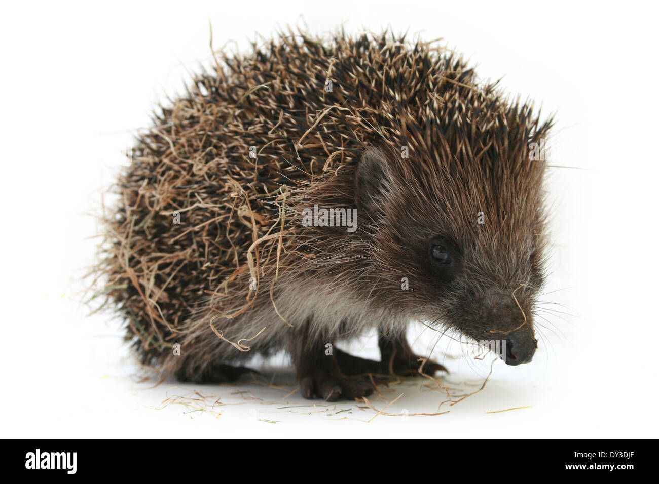 Hedgehog isolated on white - Stock Image