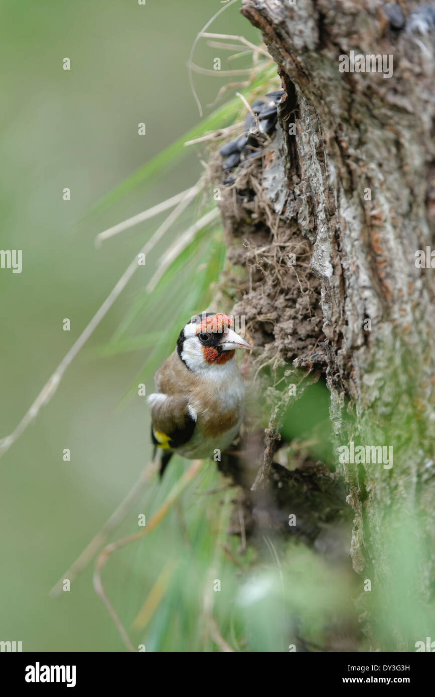 Welsh Garden Birds : A goldfinch clings to a tree stump - Stock Image