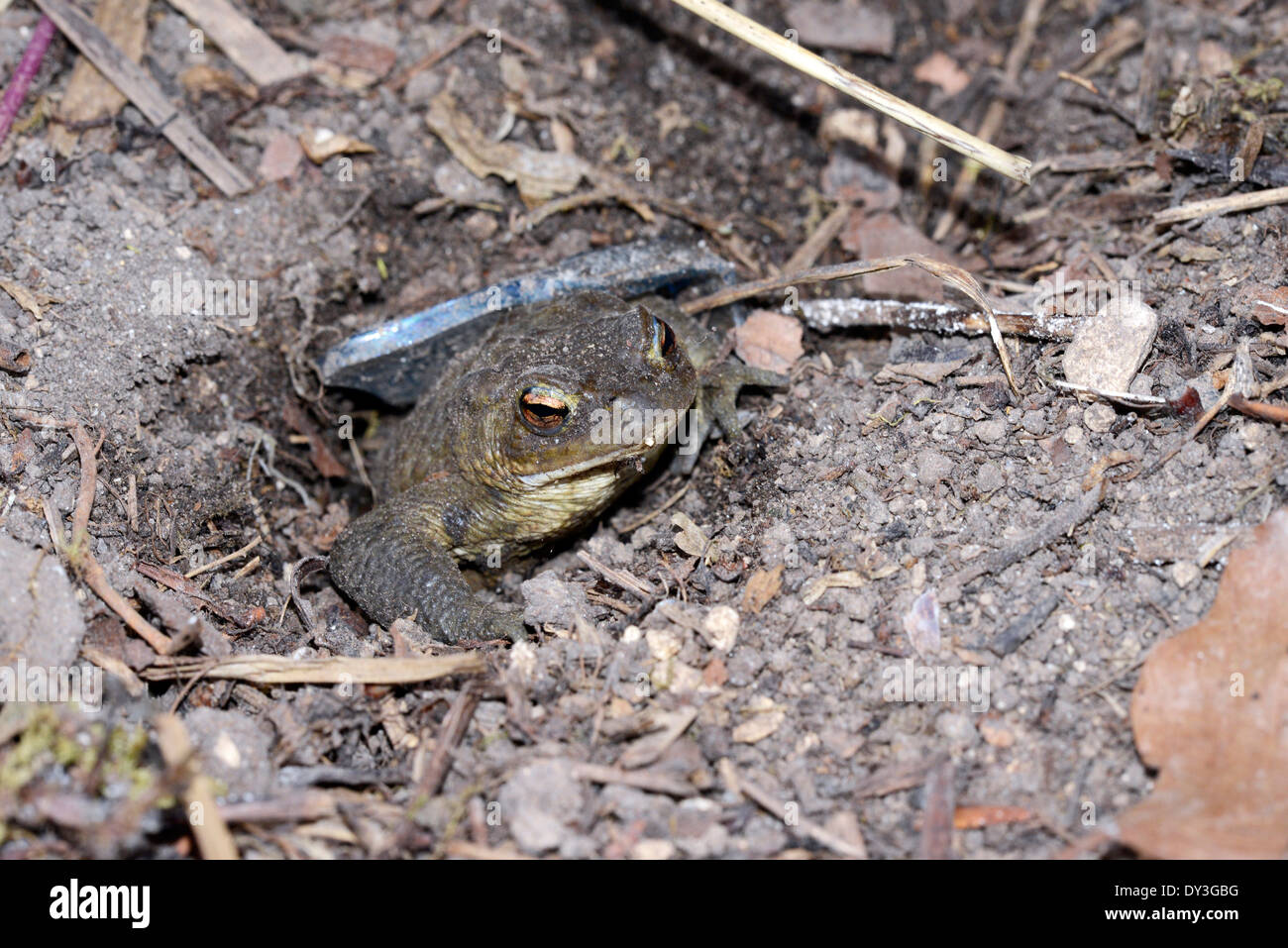 Toad in the hole. A common toad (Bufo bufo) sits in a hole for protection from predators. - Stock Image