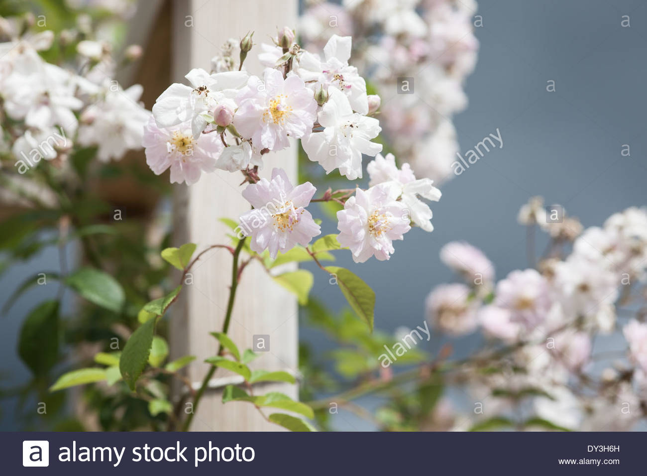 Rambling rose - Stock Image