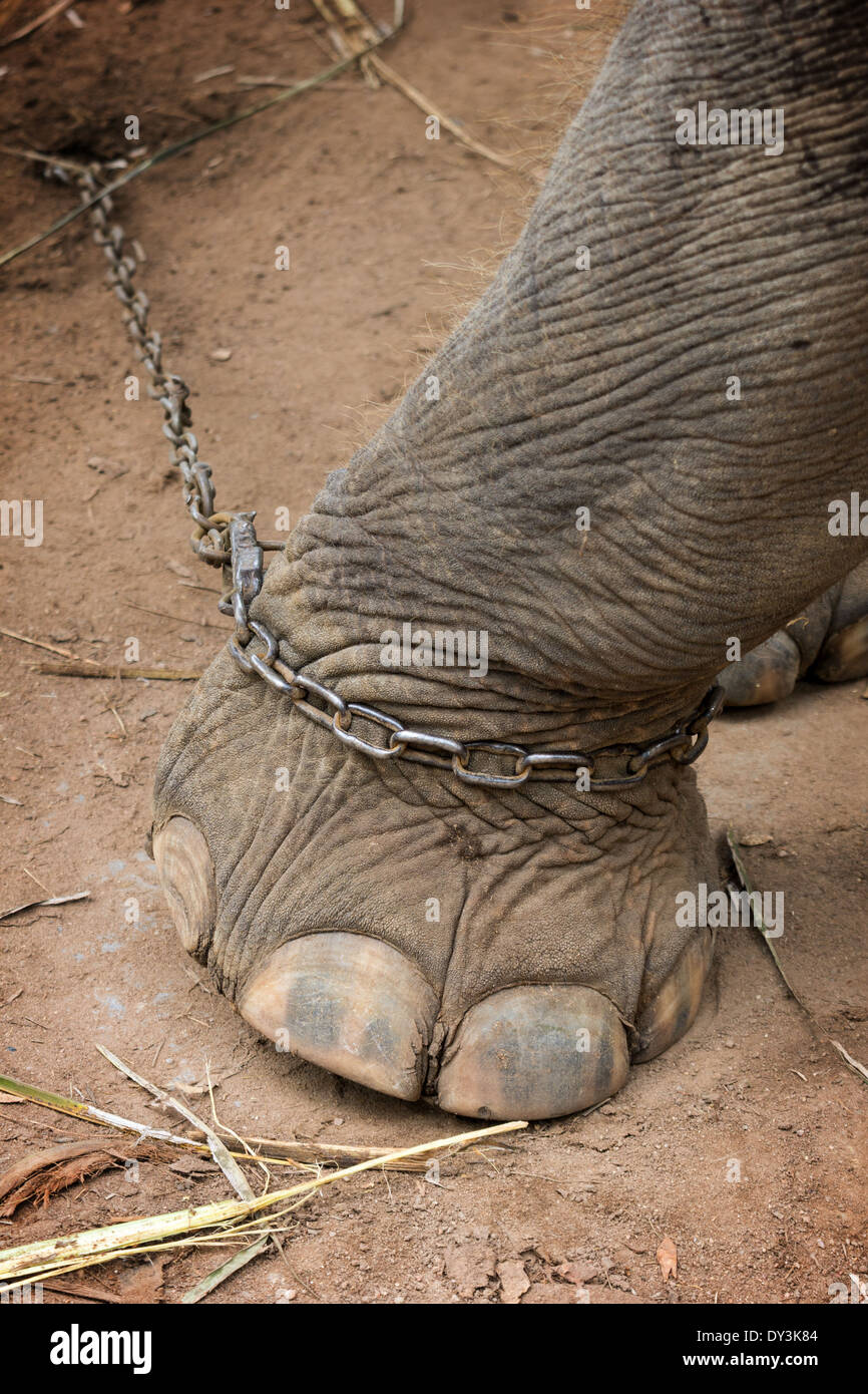 Closeup of an elephant's foot tied to a metal chain - Stock Image