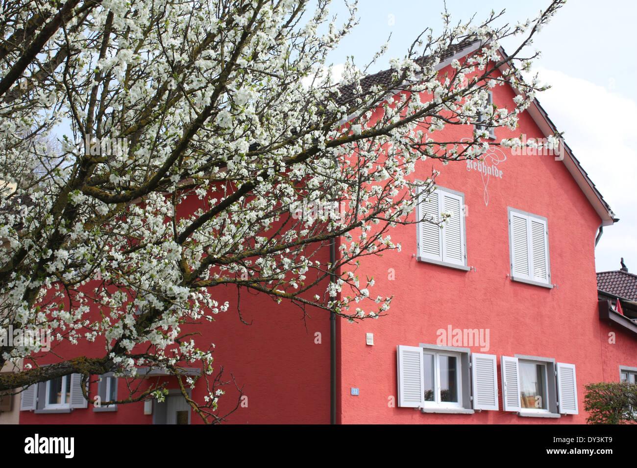 Orange house with spring flowering tree in Switzerland Stock Photo