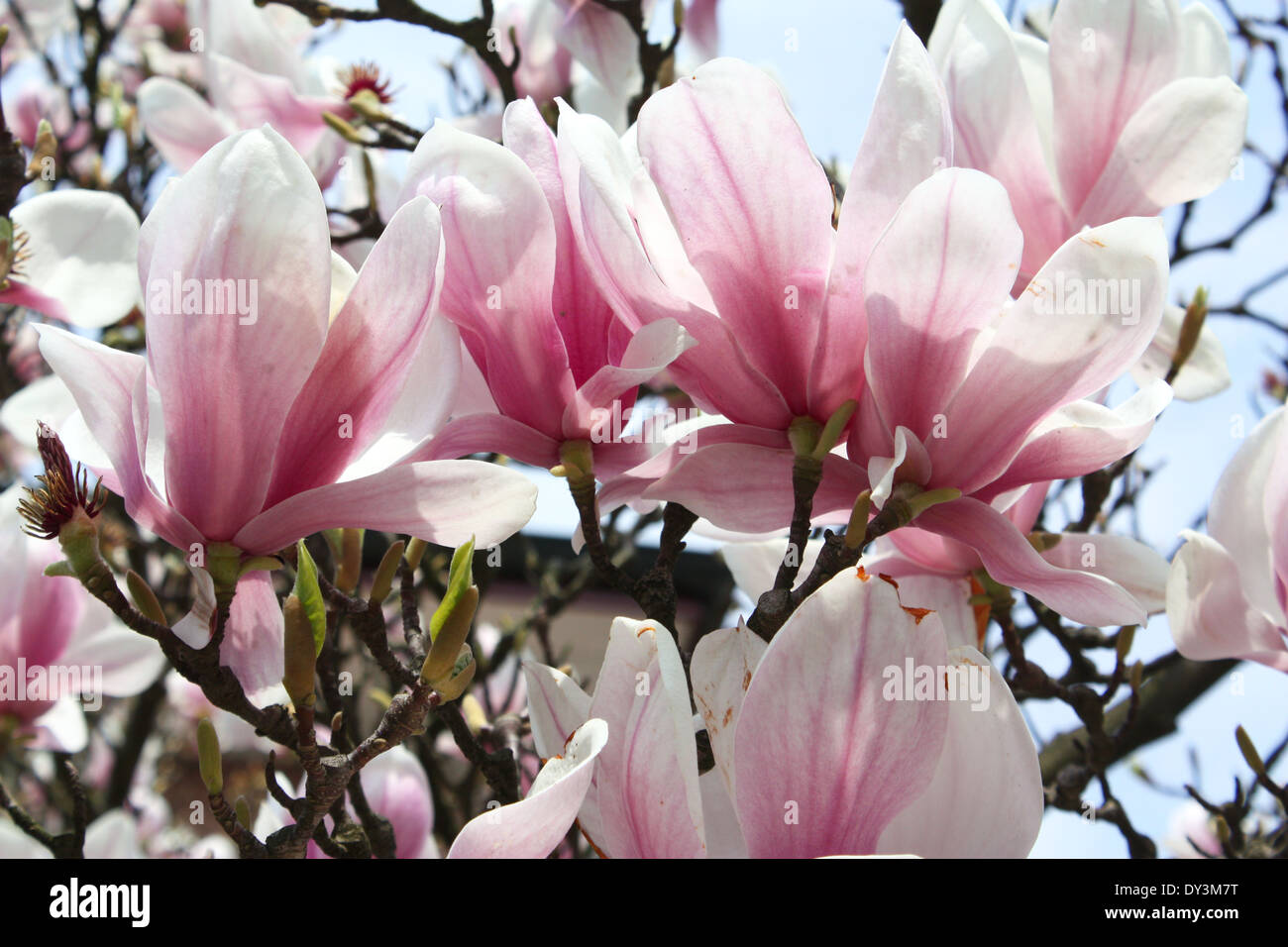 Pink magnolia flowers in spring season Stock Photo