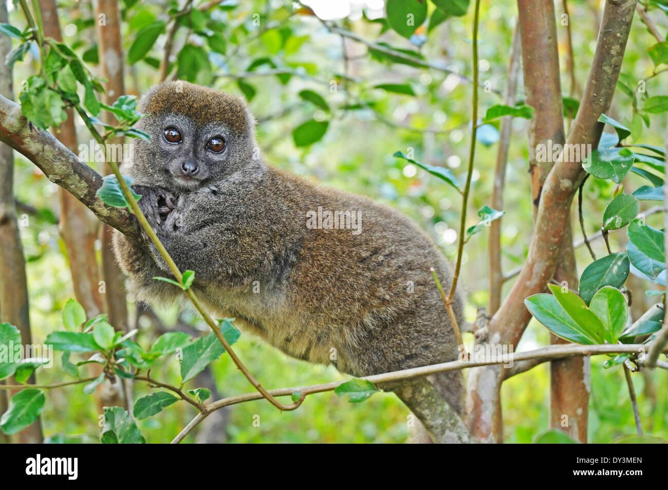 Eastern grey bamboo lemur (Hapalemur griseus), also known as the Eastern grey gentle lemur or Eastern lesser bamboo lemur. - Stock Image