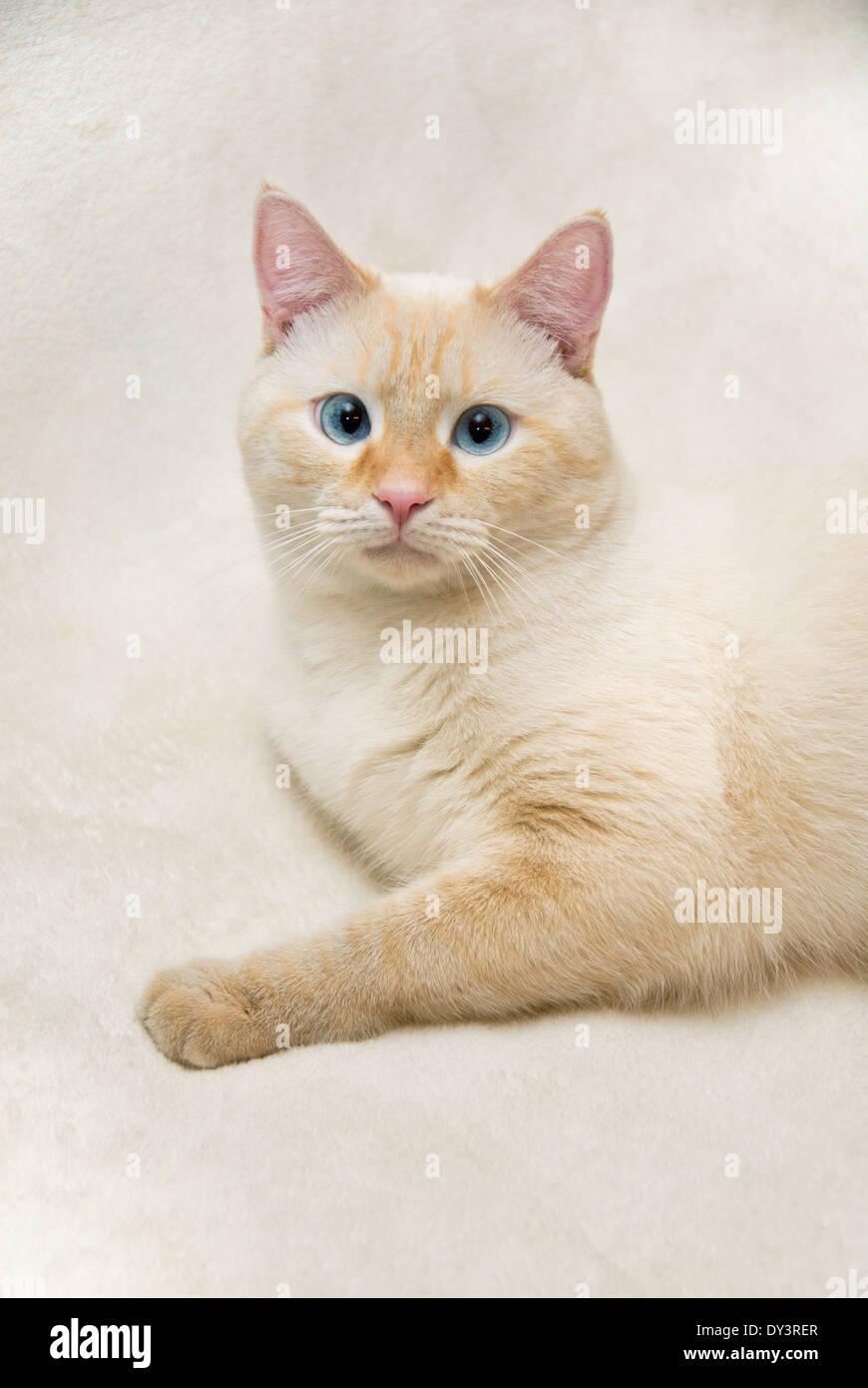 Blue Tip Cat