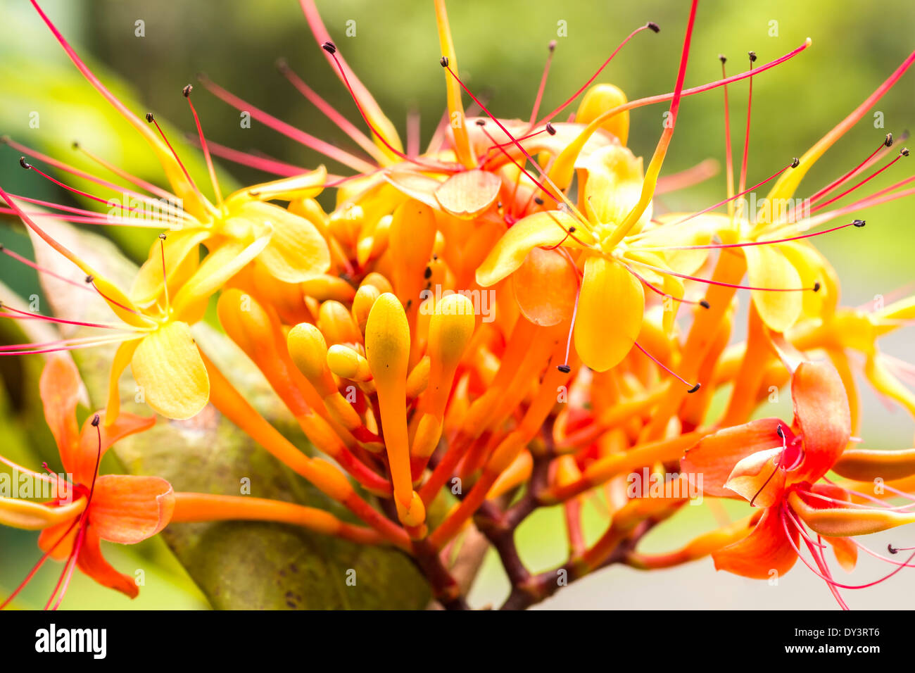 Ashoka tree flower saraca indica stock photos ashoka tree flower the colorful orange and yellow blooms of the tropical sorrowless tree stock image mightylinksfo