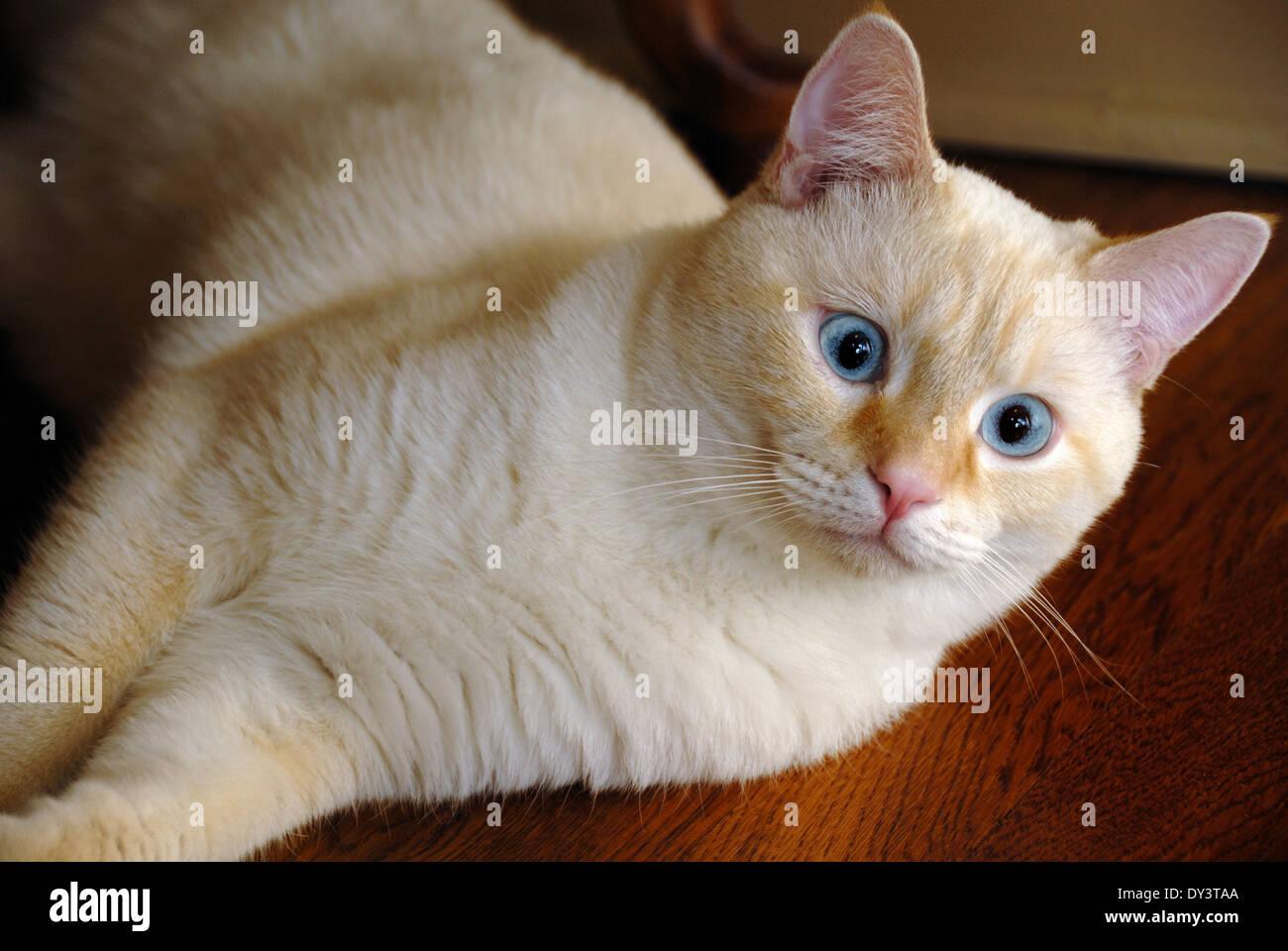Blue Cats With Orange Eyes