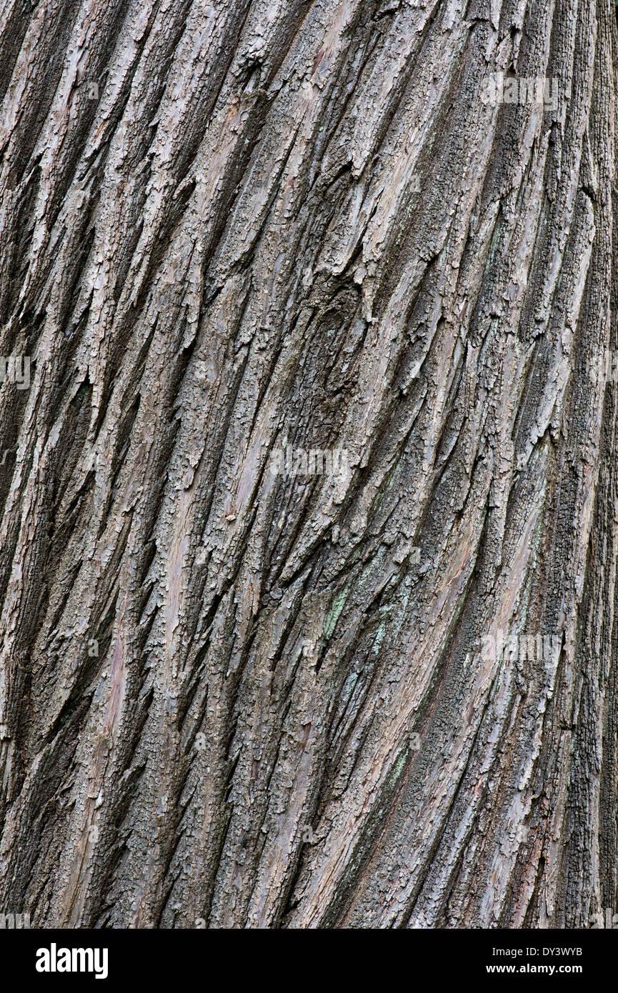 Castanea sativa. Sweet Chestnut tree bark Stock Photo