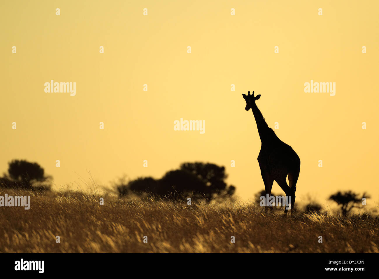 A giraffe (Giraffa camelopardalis) silhouetted against a sunset, South Africa - Stock Image