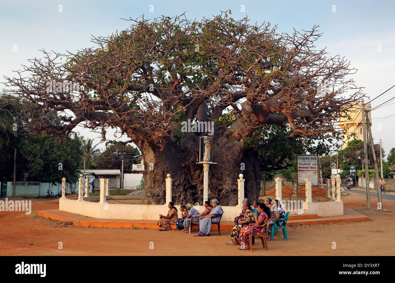 Sri Lankan women preying under Baobab Tree in Mannar - Stock Image