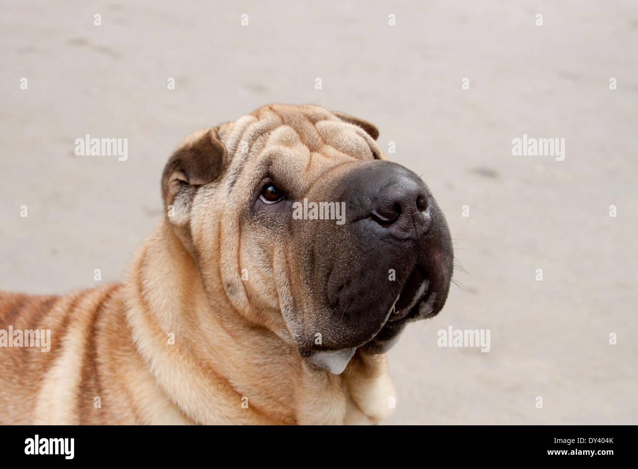 Shar Pei portrait - Stock Image
